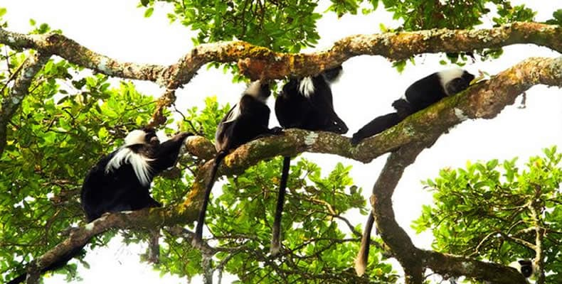 Colobus-Nyungwe National Park