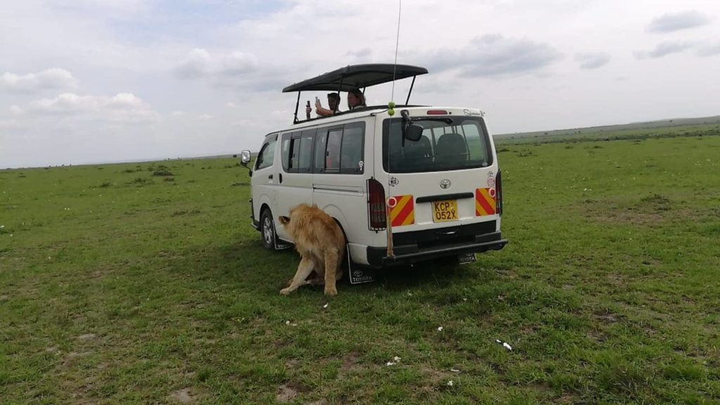 Lion leaning on a tour Van in Masai Mara Safari