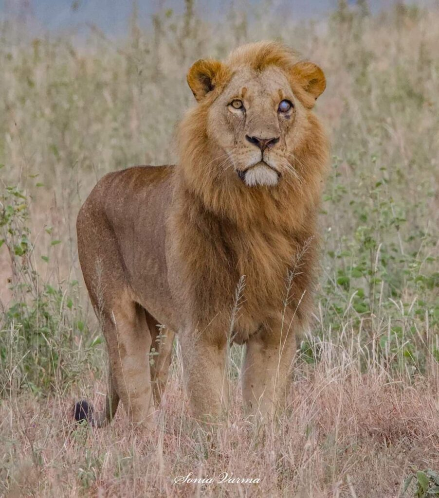 King Kitili at Nairobi National Park, Image by Sonia Varma
