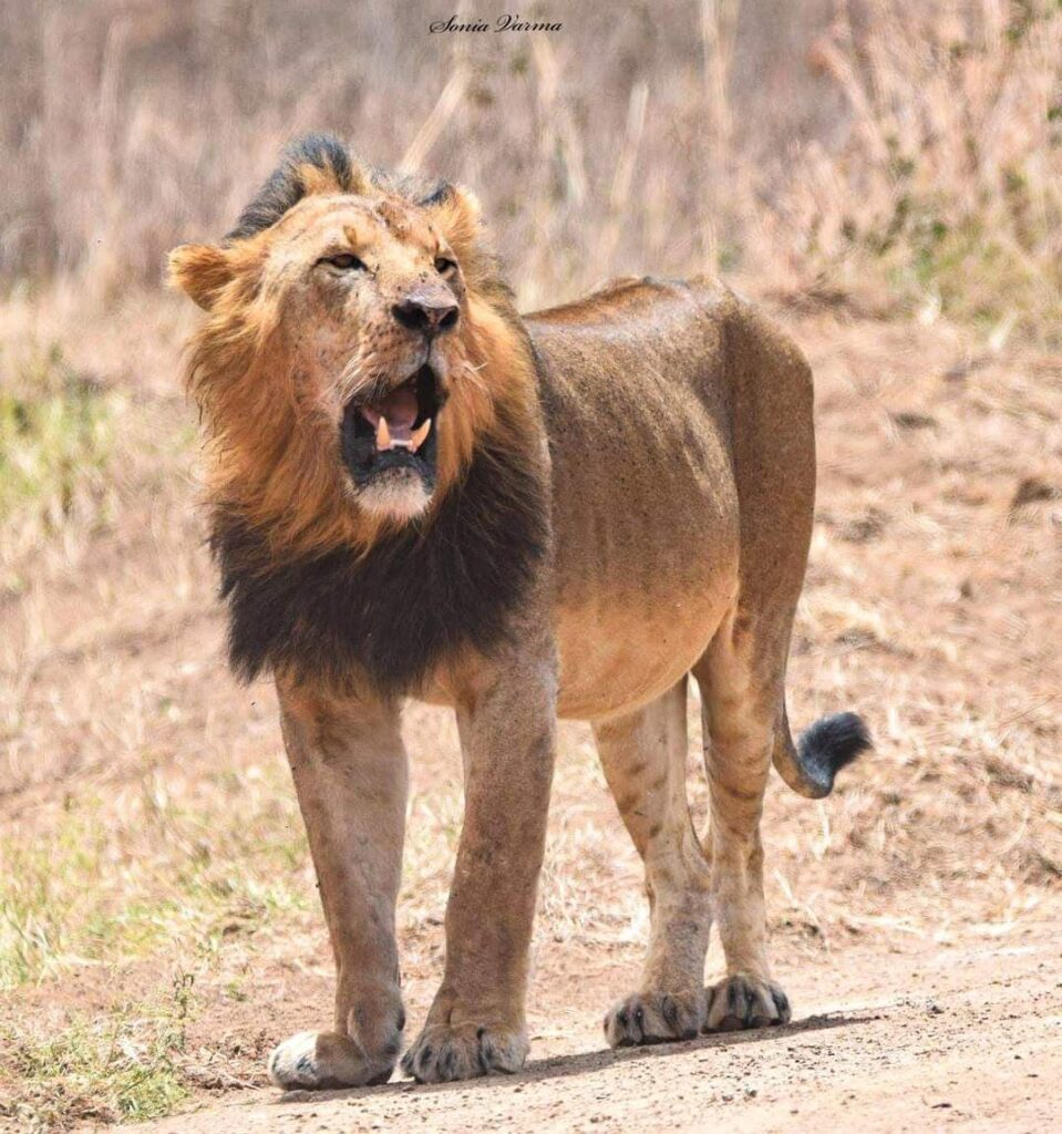 King Sirikoi at Nairobi National Park, Image Sonia Varma