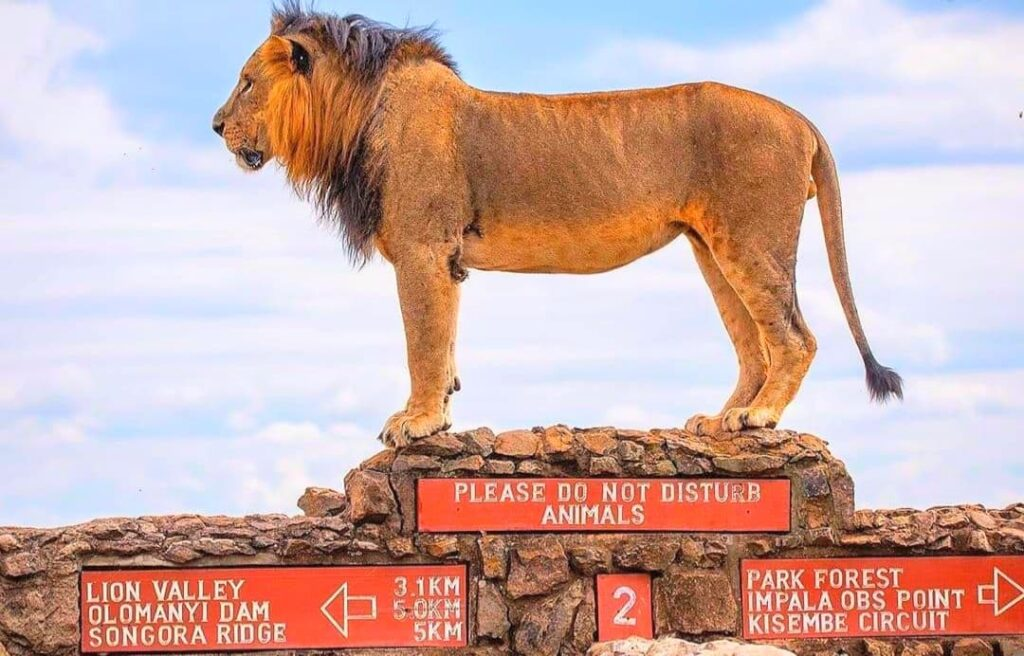 King of Nairobi National Park (Image Official Nairobi City)