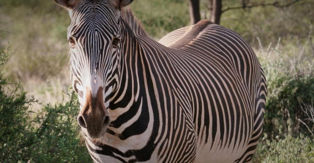 Endangered species in Kenya, Grevy Zebra