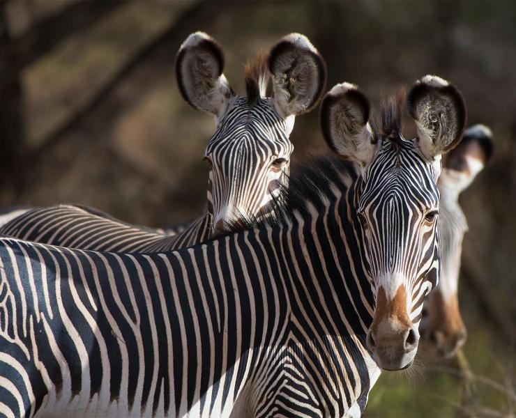 A herd of the Endagered species, Grevy Zebra