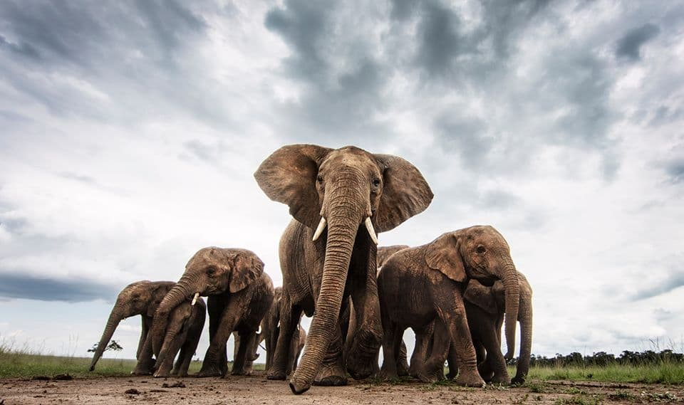 A herd of elephants, at Masai Mara (How much does a Kenyan Safari Cost? ) Image Courtesy