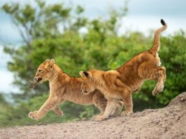Cubs Playing at the Masai Mara (How much does a Kenyan Safari cost?) Image Courtesy