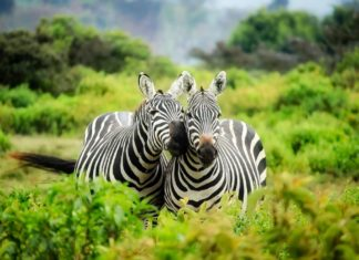 Zebras at Nairobi National Park Tour
