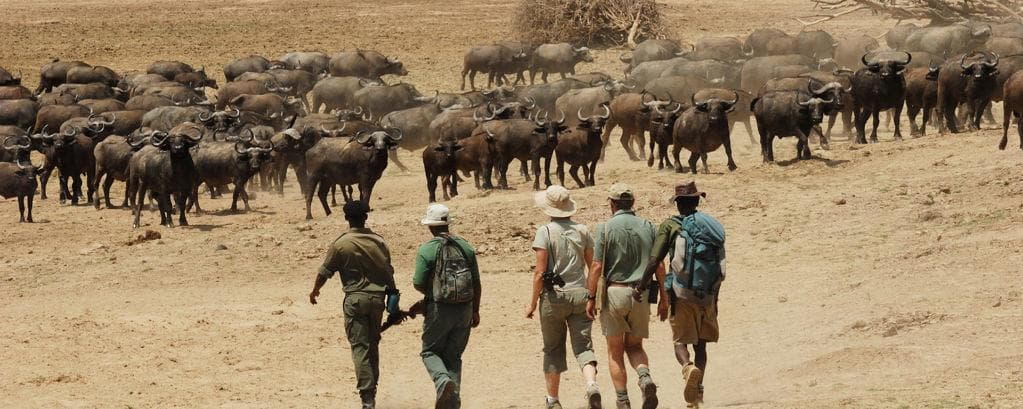Walking Safari (Image Source) Please Note These are Buffalos