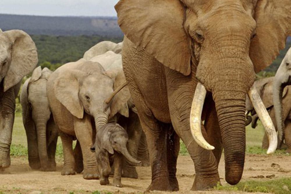 A Herd of Giant Elephants