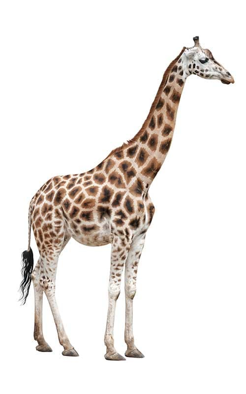 The RothsChild Giraffe