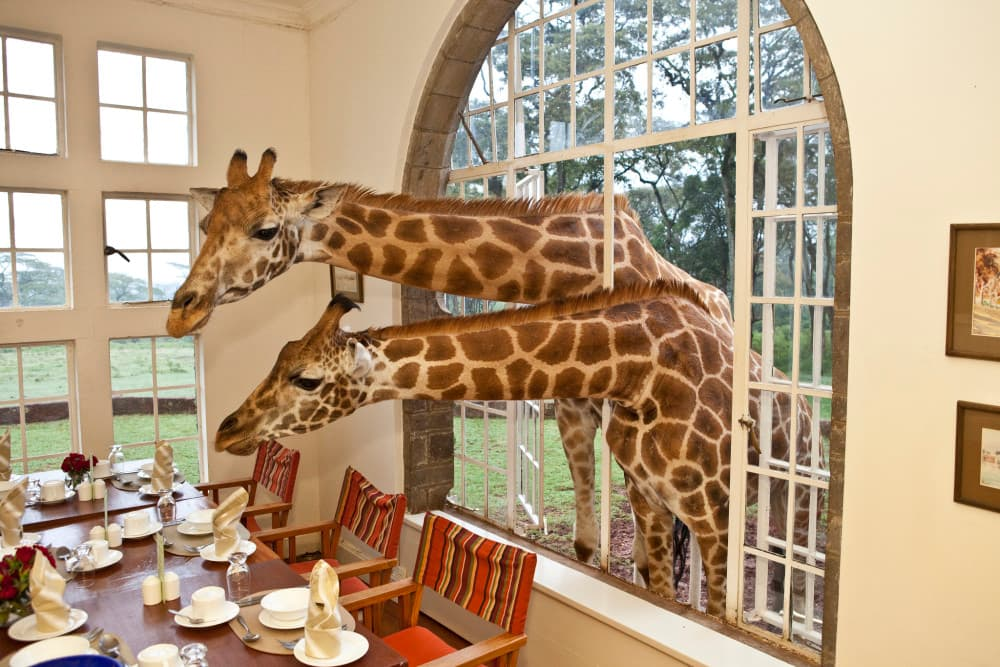 Giraffes, Stretching their long neck Out, looking for goodies