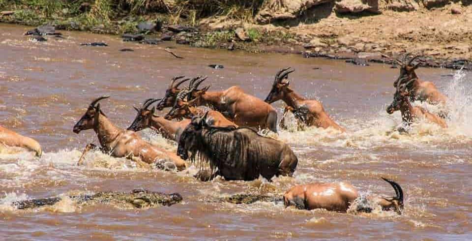Crocodile Attack at Mara River