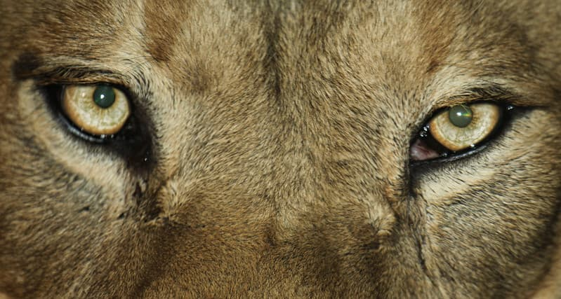 The Lion facts about the eyes Image Courtesy