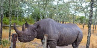 Baraka the Blind Black Rhino at Ol Pajeta Conservancy