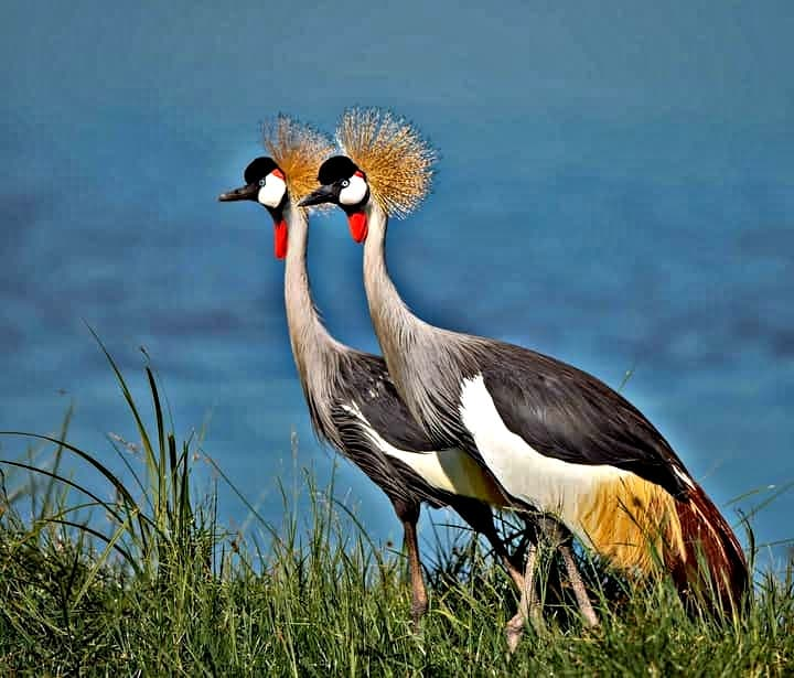 Crowned crane at Amboseli National Park
