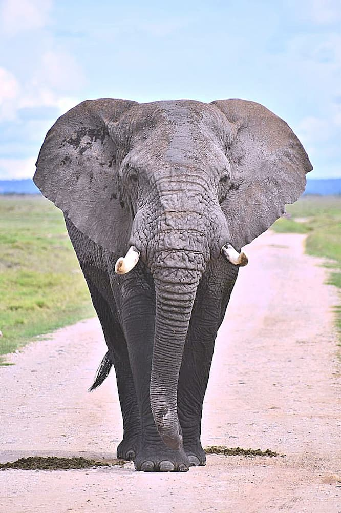 Elephant Amboseli National Park