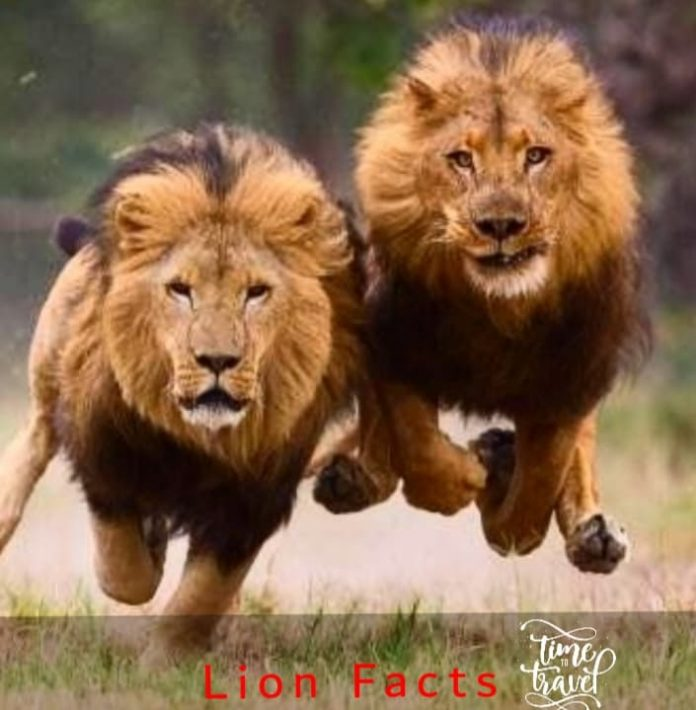 Facts about Lions Image Courtesy