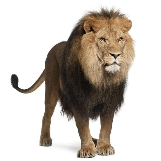 Facts About Lion, They are under threat