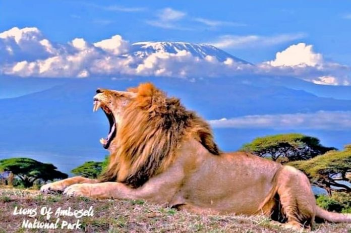 Lion at Amboseli National Park Image source Incredible