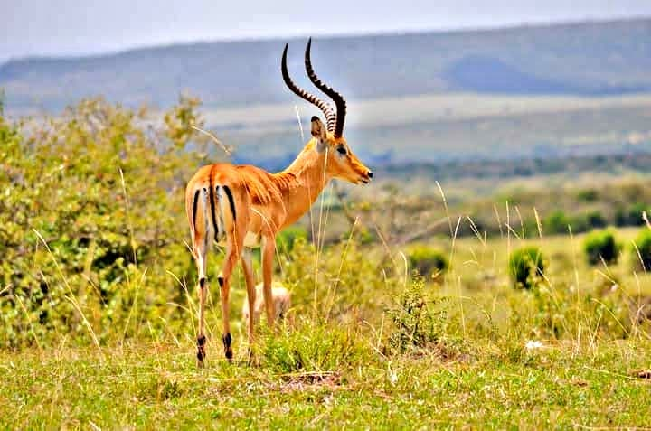 Male Impala at Amboseli National Park