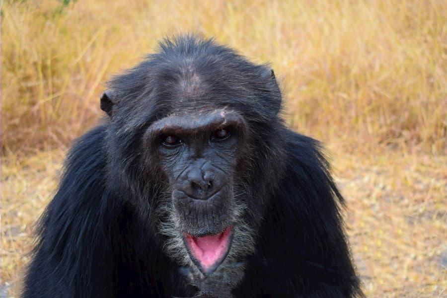 Max my friend at the sweetwaters chimpanzee sanctuary, Ol Pajeta