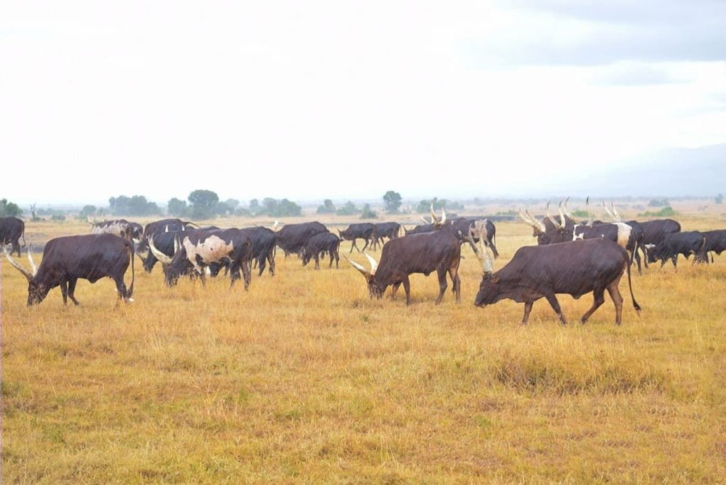 The Ankole Cows being Rained on at Ol Pejeta Conservancy