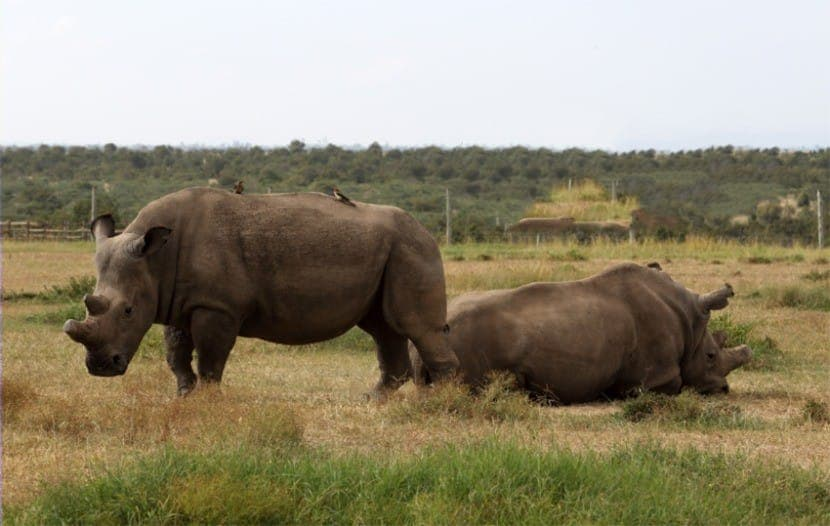 The Remaining Northern white Rhinos at Ol Pejeta Conservancy