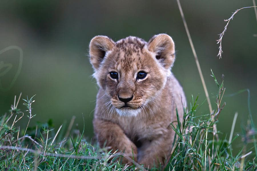 Cub with towny spots and blue eyes Image: Fine Art