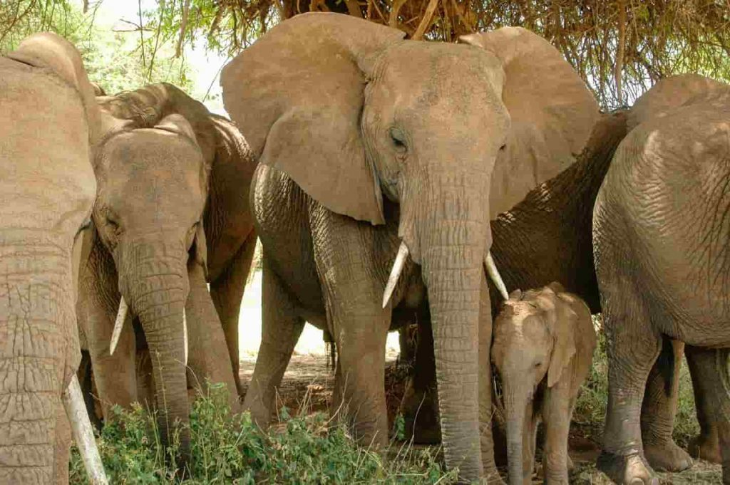 A Herd of Elephants led by Matriarch Image: Save the Elephants