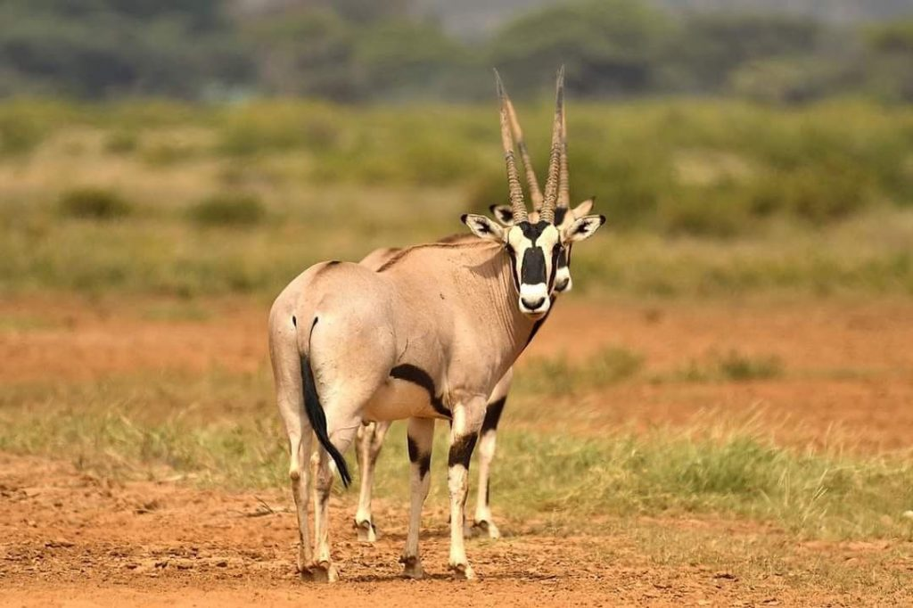 Beisa Oryx at Samburu National Reserve /Kevin