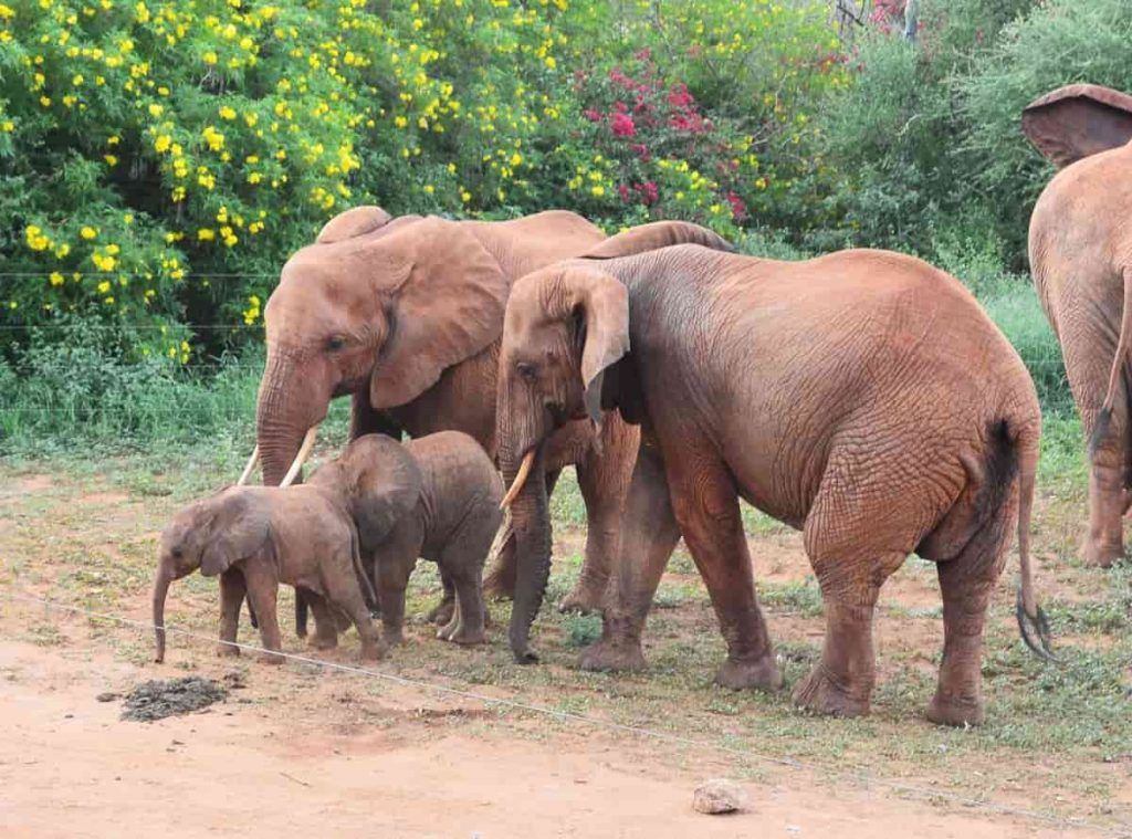 Elephant Calves gain Motion control 20 Minutes after Birth.