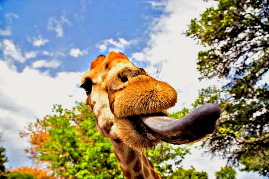 Facts About Giraffes Tongue