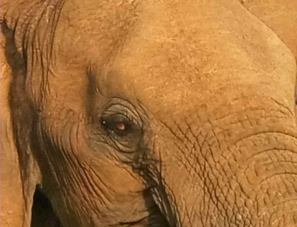 Facts about Elephants Eyes