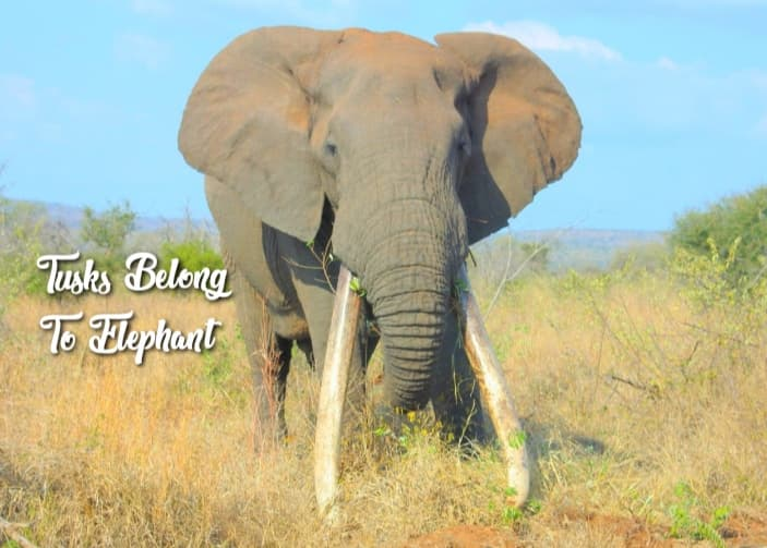 Facts about Elephants Tusks