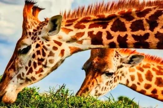 Facts about Giraffe horns