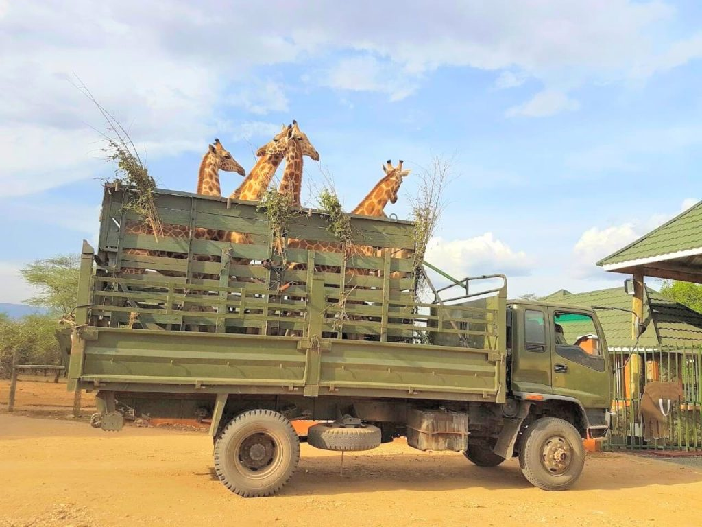 Giraffe being Transffered at Rimoi National Reserve