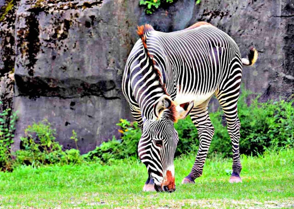 Gravy Zebra at The Rahole National Park. (One of the Little Known National Parks and Reserves in Kenya)