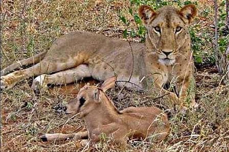 Kamuniak the Lioness with the adopted Beisa Oryx calf
