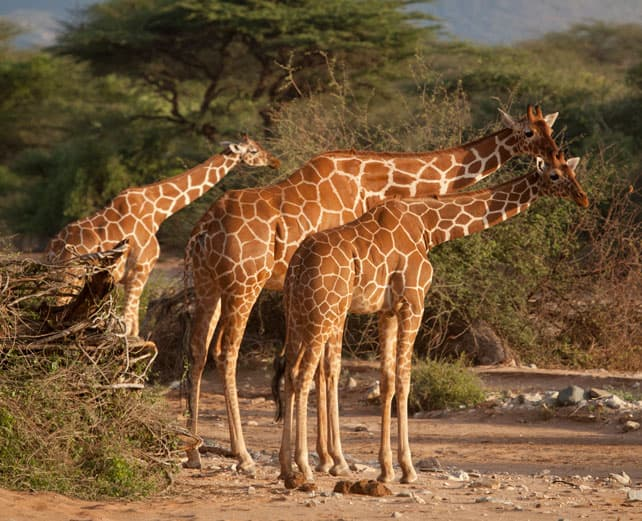 samburu-special-five-reticulated-giraffe, image kerdowney