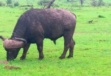 Facts About African Buffalos