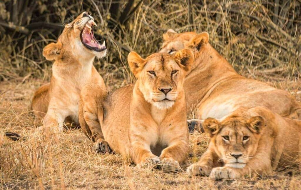 Lions of Serengeti National Park