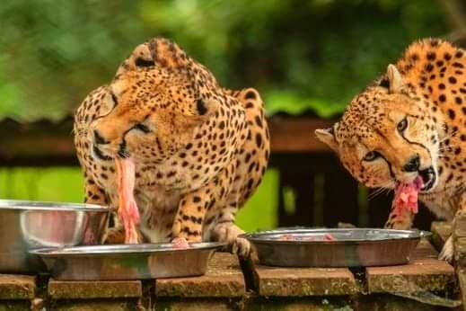 Neten and Lesora Taking their Lunch Image, Mount Kenya Wildlife Conservancy