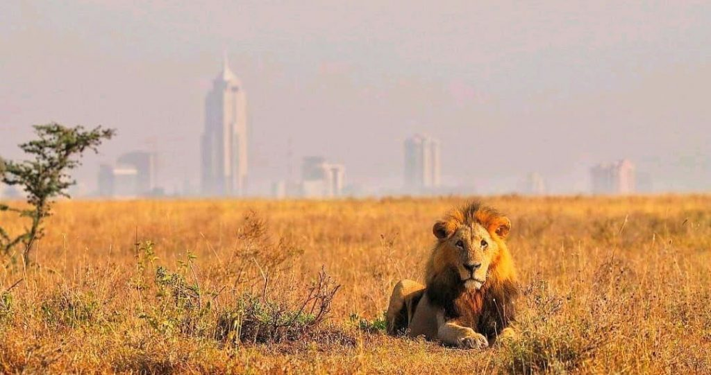 This Image by Paul at Nairobi National Park, defines patience in Photography, Getting a lion in such a backdrop